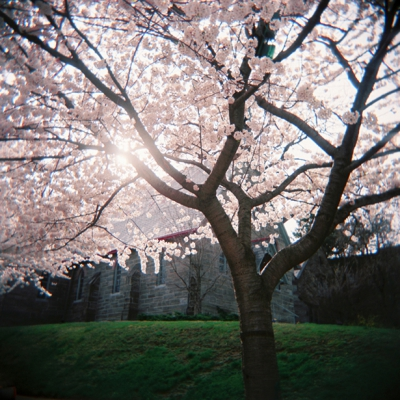 Image of the Month: Chestnut Hill Cherry Blossoms
