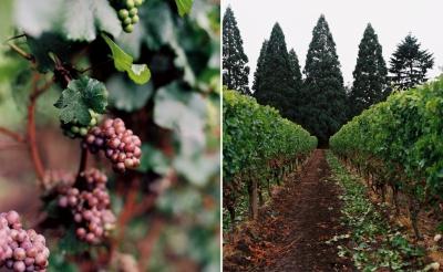 Oregonian Grapes